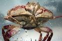 甲殼類爭霸戰