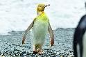 國王企鵝的奇異色彩