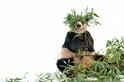 酷知識測驗:貓熊知多少