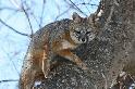 樹上的狐狸