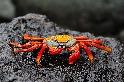 岩石上的紅石蟹