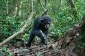 研究發現:黑猩猩智慧一半來自遺傳