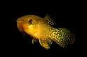 小魚神進化 再髒的水都毒不死牠