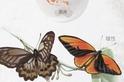 印尼捕蝶人
