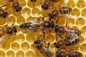 東非蜜蜂不受致命病原體影響
