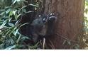 影片:小浣熊學爬樹