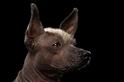 你有聽過這種古老墨西哥無毛犬的傳奇故事嗎?