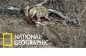 花豹與鬣狗共享屍體,但接下來的情節不輸動物界八點檔
