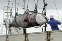遵從國際法庭裁決,日本停止捕鯨活動