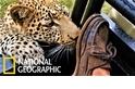 「還不把鞋給朕!」當野生花豹對遊客的鞋子產生了興趣……