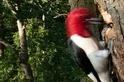 啄木鳥為什麼不會頭痛?