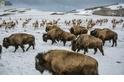 愛在冰蓋融化時──美洲動物遷徙分合