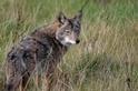 突變的藍眼郊狼正在加州擴散