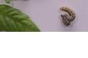 植物大戰毛蟲:讓蟲蟲互相啃食的祕招