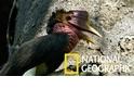 跟著國家地理攝影師尋找稀有的盔犀鳥