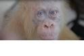 超罕見的白子紅毛猩猩於印尼獲救