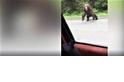 怵目驚心的影片:一隻棕熊撲向一部汽車
