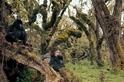 戴安.弗西拯救的大猩猩