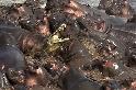 單兵鱷魚遭河馬集體霸凌