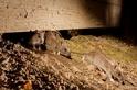 老鼠懂得感恩,還會報恩