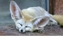 大耳狐,你的耳朵為什麼那麼大?