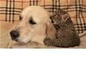 可愛警告:稀有遠東豹寶寶與牠的狗狗奶媽