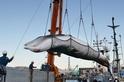 日本退出國際捕鯨委員會,將重啟商業捕鯨