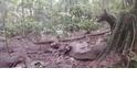 拍到稀有的亞馬遜叢林犬