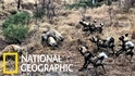 為了食物,非洲野犬與鬣狗打起了群架!