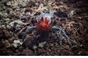 澳洲發現有紅色毒牙的神祕蜘蛛