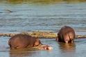驚見河馬同類相食:動物界的漢尼拔