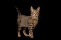 貓能自我馴化?