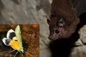 蝙蝠與蛾的聲音演化競賽