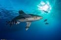 遠洋白鰭鯊