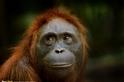 仰望的紅毛猩猩