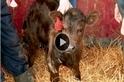 為什麼這頭小牛有六條腿?