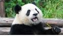 【動物好朋友】大貓熊(Giant Panda)