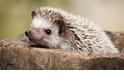 【動物好朋友】刺蝟(Hedgehog)