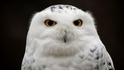 【動物好朋友】雪鴞(Snowy owl)