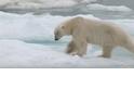 獨家直擊:北極熊獵食幼熊