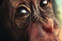 熟齡才尬意—公猩猩看母猩猩