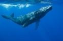 鯨魚如何被人類搞得壓力很大?答案藏在牠們的耳垢裡