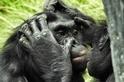 倭黑猩猩:想去哪兒?聽阿嬤的!
