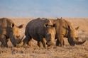 中國開放犀牛角與虎骨合法入藥