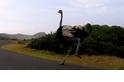 新奇影片:單車騎士競速,遭鴕鳥亂入