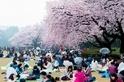 擁抱春天:日本櫻花季