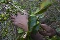 真菌與氣候變遷對全球咖啡供給的威脅