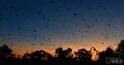 不敵熱浪高溫  澳洲蝙蝠活活熱死