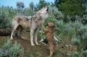 野性的呼喚──為什麼動物(包括你的狗)會號叫?