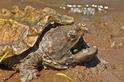 鱷龜家族添新物種